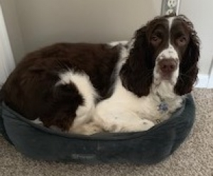 NE English Springer Rescue - Available Dogs